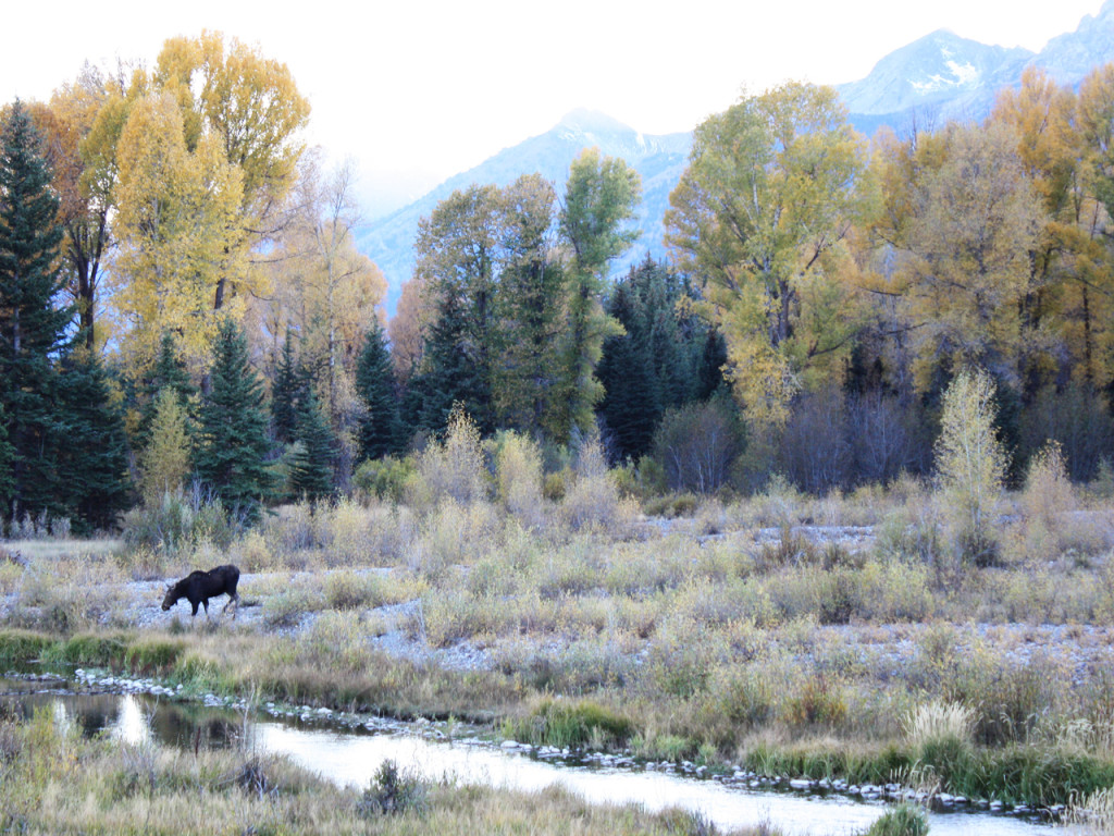 moose-in-grand-teton