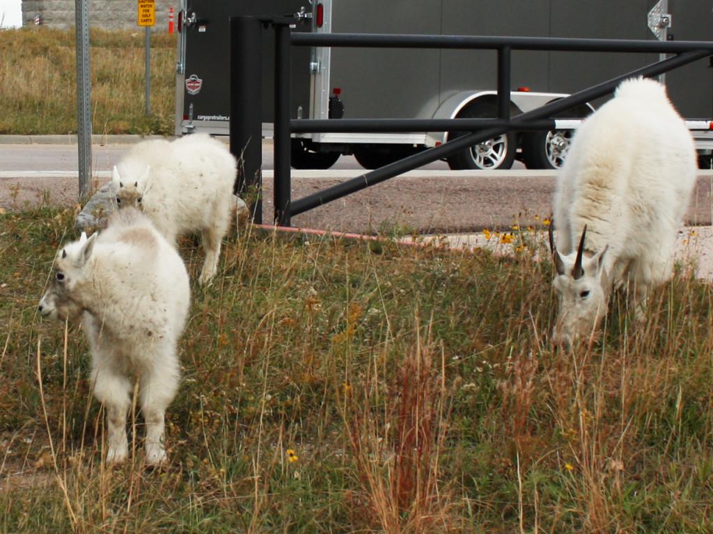 mountain-goats-bij-mount-rushmore