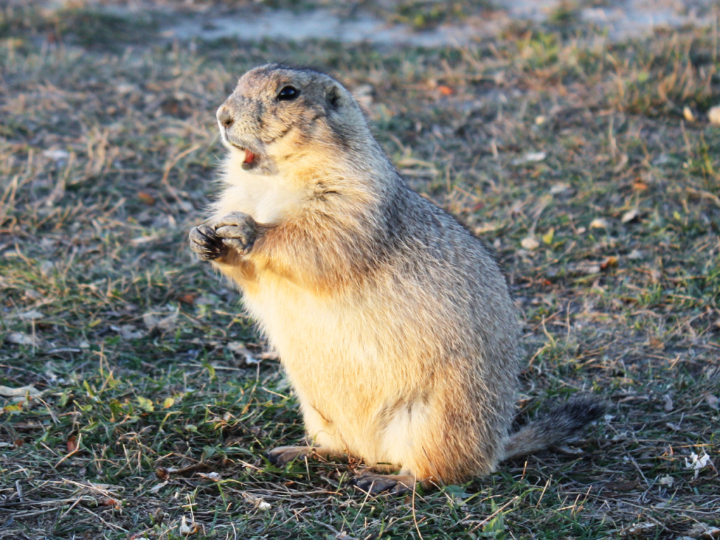 prairie-dog-town-badlands