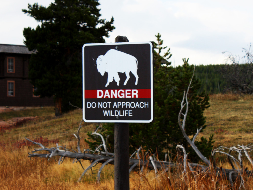 Danger-Bison-in-Yellowstone