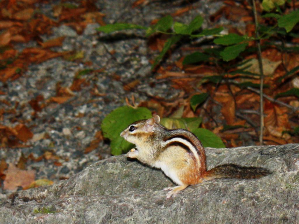Herfst-in-Amerika-Ground-squirrel