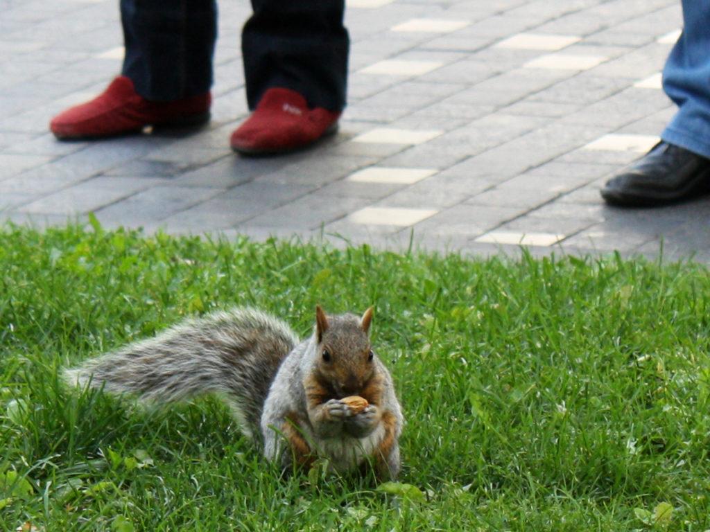 eekhoorn-in-Canada