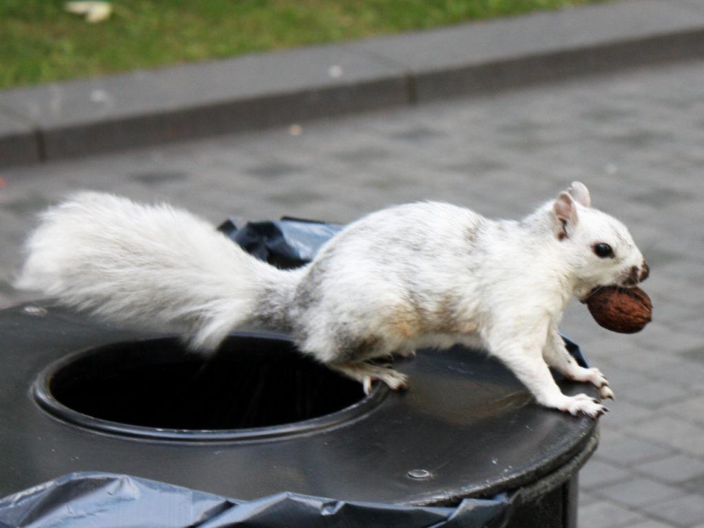 witte-eekhoorn