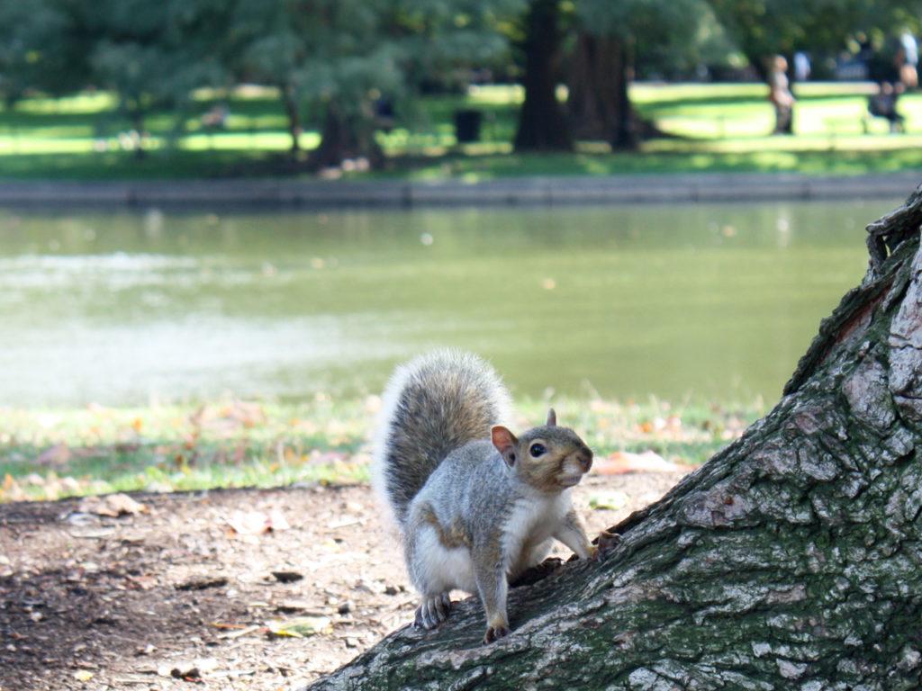 eekhoorn-Boston