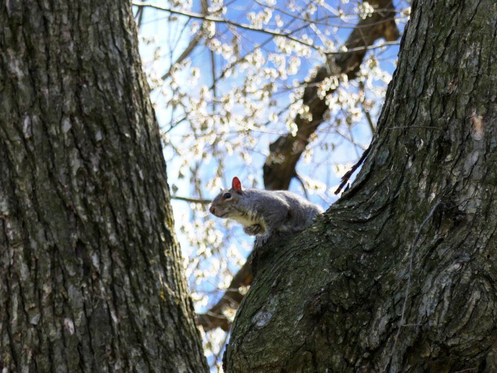 Lente-in-New-York-eekhoorn