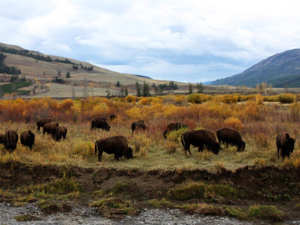 Bizons-in-Yellowstone