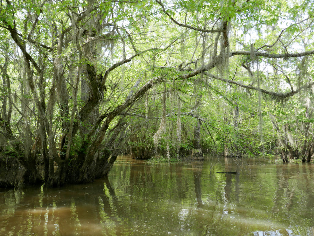 swamp-tour-trees
