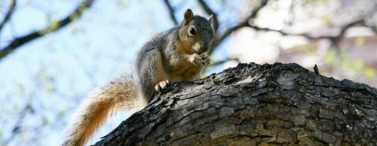 Amerika-dieren-webcam-eekhoorn